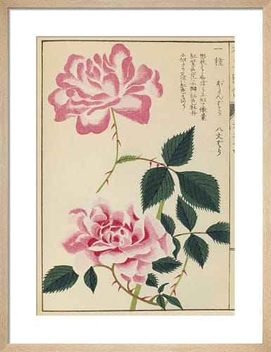 Chinese Rose by Iwasaki Tsunemasa
