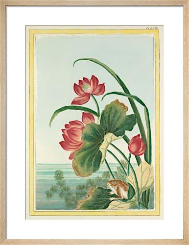 Red Lotus with Frog Plate XXIII by Pierre Joseph Buchoz
