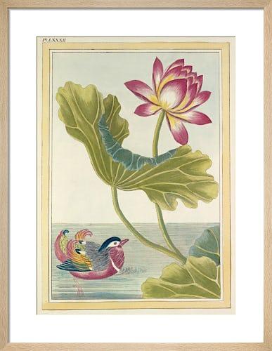 Lotus with Duck Plate LXXXI by Pierre Joseph Buchoz