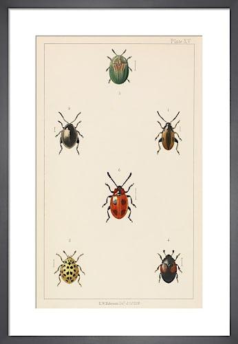 Plate XV 'British Beetles' by E.W. Robinson