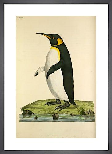 King Penguin by John Frederick Miller