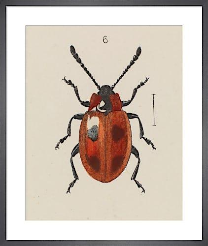 Plate XV Endomychus coccineus by E.W. Robinson